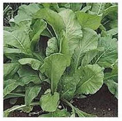 10 g Seeds Herb Sorrel Broadleaves Heirloom