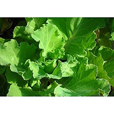 David's Garden Seeds Collards Yellow Cabbage (Green) 100 Heirloom Seeds