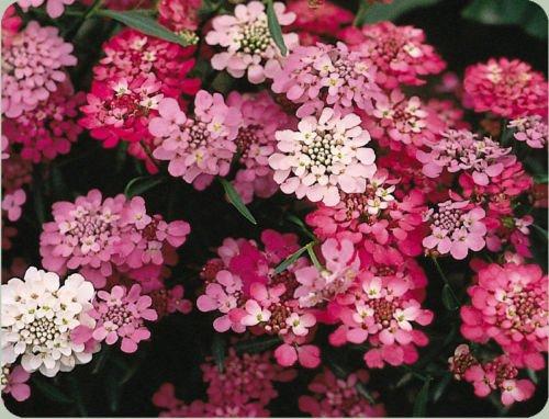 Candytuft, Perennial White Pink Flower, 165 Seeds! ()
