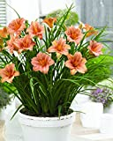Burpee Bare Root Daylily EveryDaylily 'Pink Wing' - 3 Bare Root Plants