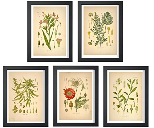 Ink Inc. Psychoactive Plants Botanical Drawings Vintage Art Prints, Set of 5, 8x10in, Unframed, Cannabis Coca Opium Poppy Tobacco Wormwood ()