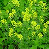 Outsidepride Black Mustard - 5000 Seeds