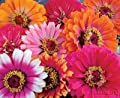 "(AZ)~""WHIRLYGIG MIX"" ZINNIA~Seeds!!!!~~~~~~~~~~Wild Colors!!"