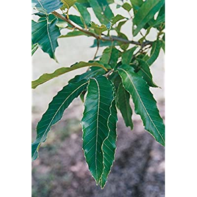 (Pack of 2 Plants of 1 Gallon) Sawtooth Oak Tree-Great Source and First to Provide Hard MAST to All Wildlife, Produces Lots and Lots of Acorns, Excellent Near Hunting Cabins : Garden & Outdoor