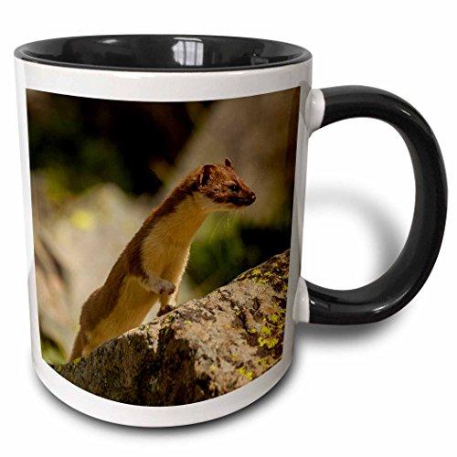 3dRose 191034_4 Usa Colorado San Juan Mountains Short-Tailed Weasel In Summer Fur Two Tone Mug, 11 oz, Black