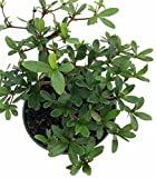 "Dwarf Black Olive Pre-Bonsai Tree - Great Indoors - 4"" pot - Bucida spinosa"