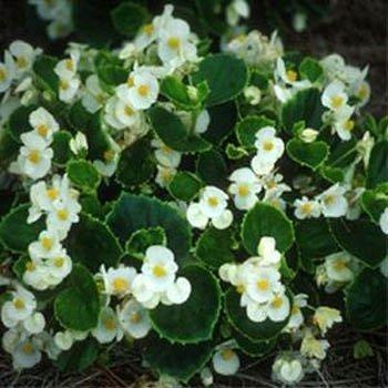 Outsidepride Wax Begonia Semperflorens White Plant Seed - 5000 - Seed Begonia