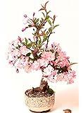 Ciliegio ornamentale giapponese / Fiori di Ciliegio / confezione da 10 semi - Prunus serrulata / Coltivabile come albero da giardino o bonsai