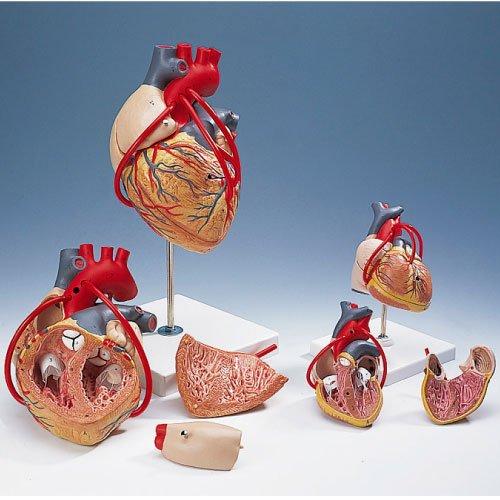 心臓モデル(バイパス付)  G05 (19X12X12CM)【1台単位】(11-2130-01)   B010AOGRUC