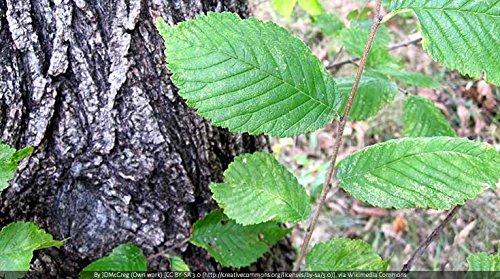 Indigo Herbs Corteza de Olmo en Polvo 250g: Amazon.es: Salud y cuidado personal