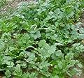 1000 CILANTRO / CORRIANDER / CHINESE PARSLEY Coriandrum Sativum Herb Flower Seeds