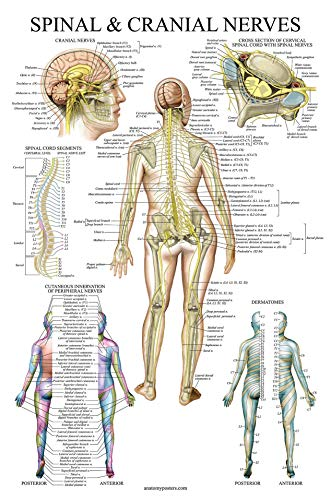 Spinal Nerves Anatomical Chart - Spine and Cranial Nervous System Anatomy Poster (with Dermatomes) (Laminated, 18 x 27) (Chiropractic Education)