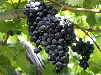 2 Concord Purple Seedless Grape Vine - 2 Year ALL NATURAL Grown Plant - Fall Planting