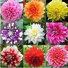 100pcs/lot Mixed Colors Dahlias Seeds For DIY Home Garden Wholesale Type flower seeds bulb