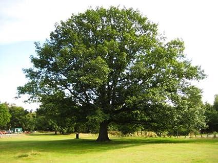 Mature red oak tree