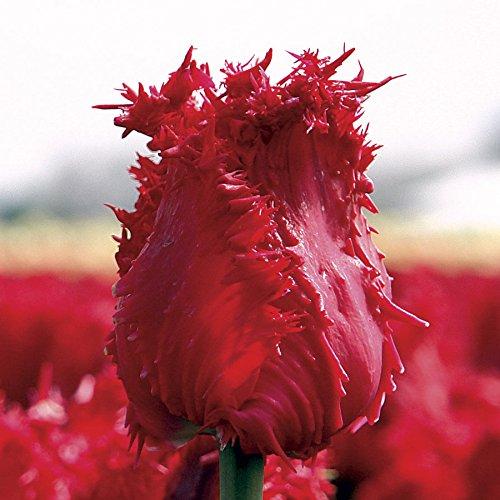 Wayside Gardens Tulip Barbados - Bulb by Wayside Gardens