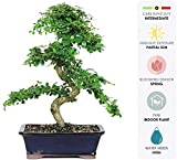 Brussel's Bonsai Live Fukien Tea Indoor Bonsai Tree-10 Years Old 10'' to 14'' Tall with with Decorative Container
