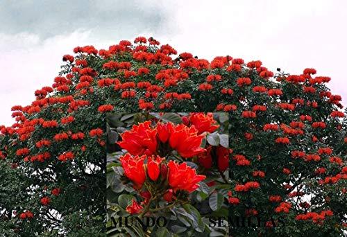 - Tree of The Tulip - spathodea campanulata -100 Seeds frescas