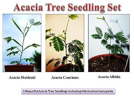 Acacia Seedling Set Acacia Maidenii Acacia Concinna Shikakai Soap