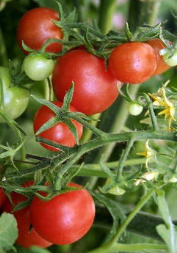 10 Seeds Lizzano Vegetable Tomato