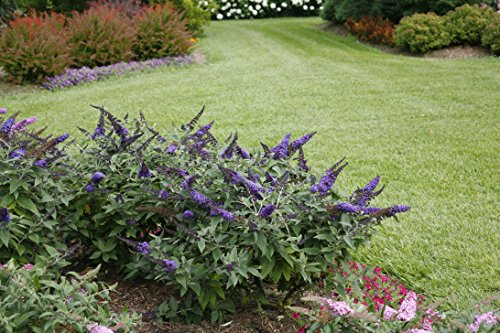 Pugster Blue Butterfly Bush (Buddleia) Live Shrub, Blue Flowers, 1 Gallon by Proven Winners (Image #6)