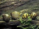 Aquatic Arts 6 Nerite Snails COMBO PACK (Neritina natalensis) - 3 Tiger Nerite Snails, 3 Zebra Nerite Snails - Live Snails