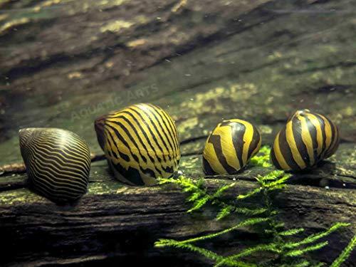 Aquatic Arts 6 Nerite Snails COMBO PACK (Neritina natalensis) - 3 Tiger Nerite...