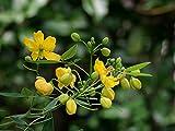 10 Seeds Senna alexandrina Alexandrian or Egyptian Senna Plant