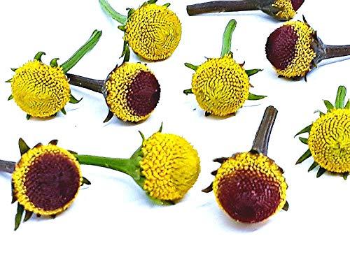 Chocolate Flower Farm - Szechuan Flowers,Paracress (Buzz Buttons) Acmella oleracea: 50/50 Mixture. 60 Fresh Individual Flowers.