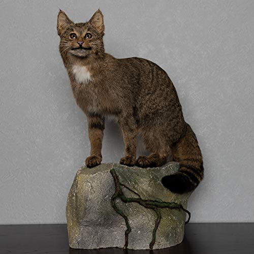European Wildcat Taxidermy Mount - Bobcat Mounted, Stuffed Animals for Sale - Real, Decor, LIFESIZE - ST5077
