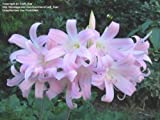 ON SALE NOW! /10 bulbs!! NAKED LADY bulbs VERY FRAGRANT!