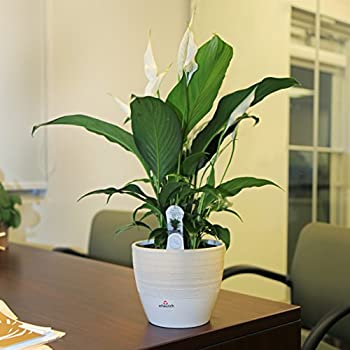 Costa Farms Live Indoor Flowering Peace Lily In Scheurich Premium Décor-ready Ceramic Planter, Great Gift 5