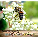 50 x Bee-bee Tree, Tetradium daniellii, Evodia daniellii Tree Seeds, HONEY BEE ATTRACTANT, HIGHLY SOUGHT AFTER BY BEEKEEPERS - FRESH SEEDS Cold Hardy Zones 5+ - By MySeeds.Co