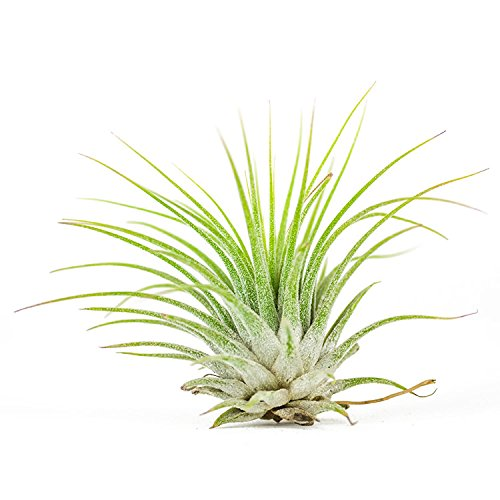 Air Plants - Tillandsia Ionantha Guatemala - Choose Your Custom Quantity - Fast Shipping - Includes Free PDF E-Book (200)