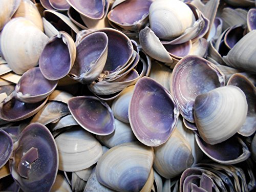 Bulk 3 lbs (about one Gallon) Purple Baby Clam Shells Seashells (1/2-3/4