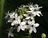 'Star of Good Hope' 2 Bulbs 20/+cm - Ornithogalum saundersiae