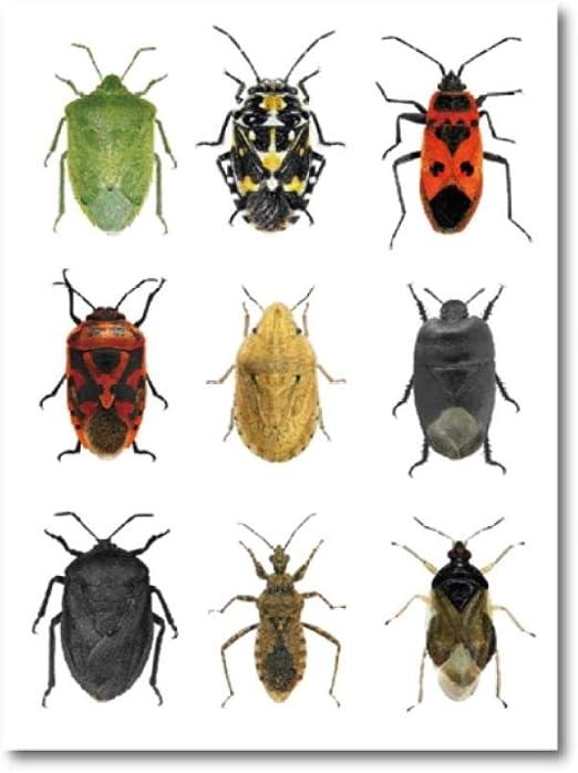 Insectos de la Orden Hemípteros Impresiones de Carteles Naturaleza Biológica Decoración de Pared Especies de Insectos de la región mediterránea Lienzo Pintura 50x70cmx1 sin Marco: Amazon.es: Hogar