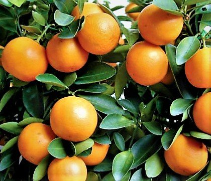 Amazoncom Kumquat Trees 3 6 Real Live Plants Citrus Fruit Tree