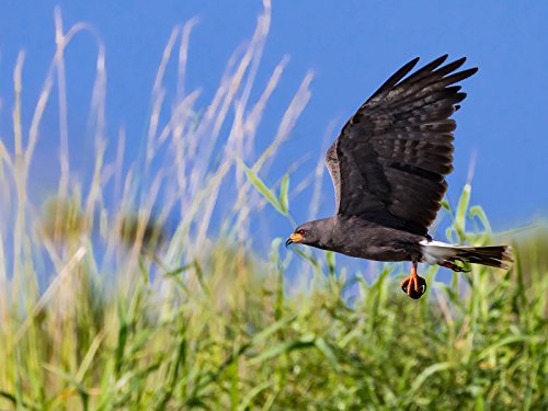 Wildlife/Birds in Flight Photography Endangered Snail Kites Nikon D500 and Nikkor 200-500mm