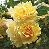 Own-Root One Gallon Gold Badge Climbing Rose by Heirloom Roses