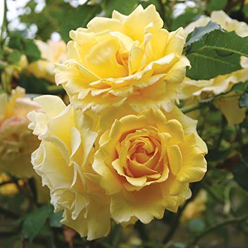 Own-Root One Gallon Gold Badge Climbing Rose by Heirloom Roses by Heirloom Roses (Image #3)