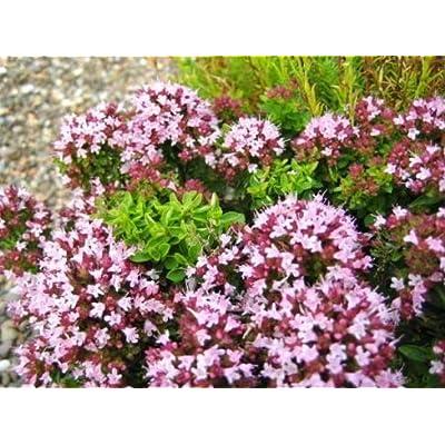 Cheap Fresh Fragrant Leaves Seeds Origanum Vulgare Oregano Get 10 Seeds Easy Grow #GRG01YN : Garden & Outdoor