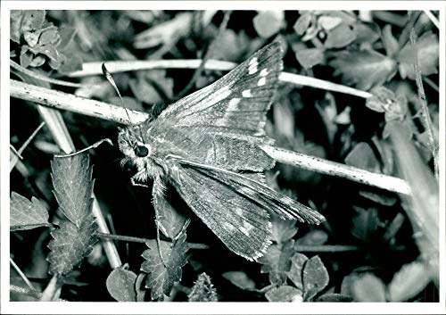 Vintage photo of Butterflies:silver spotted skipper. ()