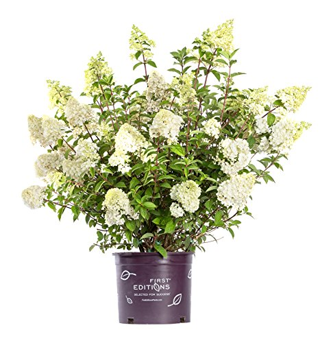 - First Editions - Hydrangea pan. Vanilla Strawberry (Panicle Hydrangea) Shrub, white/pink/red flowers, #3 - Size Container