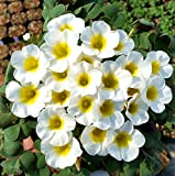 Kucus - ZLKING 1 Pcs White Rare Oxalis Purpurea Alba Red Back Oxalis Flowers Bulbs Color Rotary for Home Garden Bonsai (Bulb is Small)