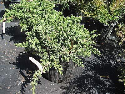 Procumbens Nana Juniper Bonsai Starter Plant Evergreen Ten Plants Rare MHWK65