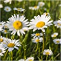 Package of 1,000 Seeds, Ox-Eye Daisy (Chrysanthemum leucanthemum) Open Pollinated Seeds By Seed Needs