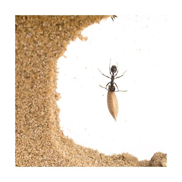 AntHouse - Formicaio Naturale di Sabbia - Kit T Acrilico 15x15x1,5 cm (Formiche Incluse con Regina) 4 spesavip