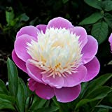 Peony Gay Paree - 1 Healthy 3/5 Eye Peony Root Plant - Fragrant! | Ships from Easy to Grow TM