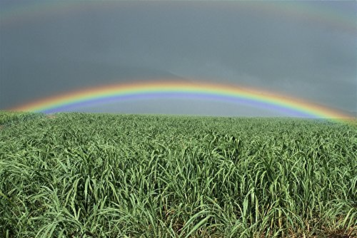 Rainbow Over Sugar Cane - Hawaii, Brilliant Rainbow Over Fields Of Sugarcane, Misty Skies In Background C1716 Poster Print (38 x 24)